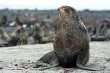 Free Northern Fur-seals Rookery. Royalty Free Stock Image - 14889266