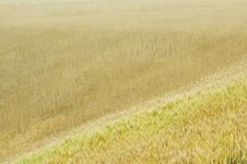 Free The Golden Field Stock Photo - 14889280