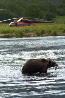 Free Brown Bear, Kamchatka Royalty Free Stock Photos - 14889298