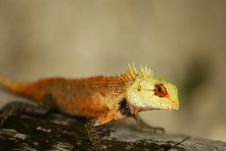 Free The Lizard Is Watching You! Royalty Free Stock Image - 14889556