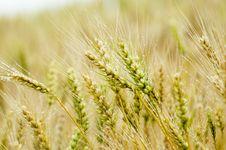 Free Wheat Royalty Free Stock Photos - 14889638