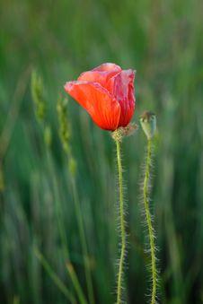 Free Wild Poppy Stock Photos - 14889733