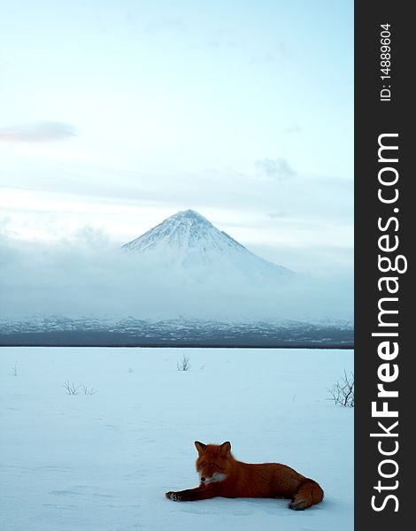 Winter loneliness, the fox life