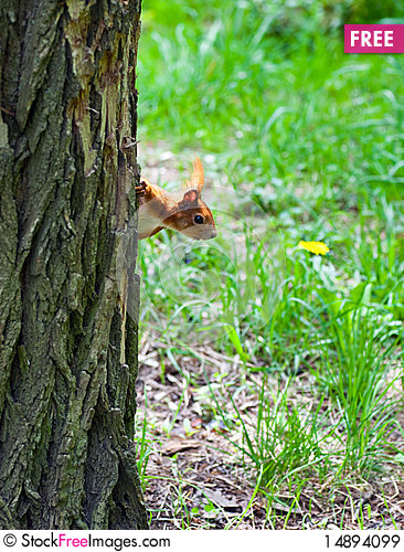 Free Squirrel Watching From Behind A Tree Royalty Free Stock Images - 14894099