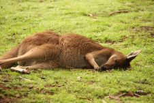 Free Kangaroo Stock Photo - 14890090