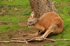 Free Kangaroo Stock Images - 14890114
