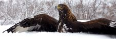 Free Hunting Of A Golden Eagle Royalty Free Stock Photography - 14890117