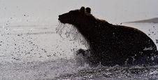 Free The Brown Bear Stock Photography - 14890202