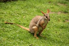 Free Wallaby Stock Images - 14890284