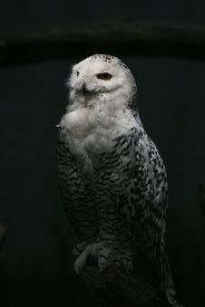 Free Snow Owl Stock Photography - 14890772
