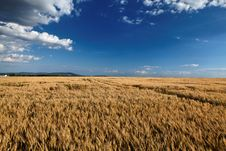 Free Fields Of Gold Stock Photo - 14890950
