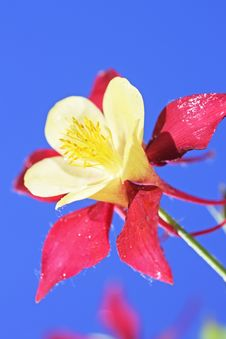 Free Aquilegia Stock Photo - 14892610