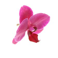 Free Purple Orchid Royalty Free Stock Photography - 14892867
