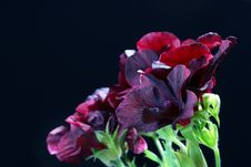 Free Black Geranium Royalty Free Stock Photo - 14893605