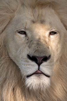 Free White Lion Looking Stock Photography - 14893822
