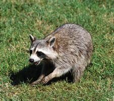 Free Raccoon Stock Photos - 14893913