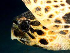 Free Hawksbill Turtle Stock Photo - 14893940