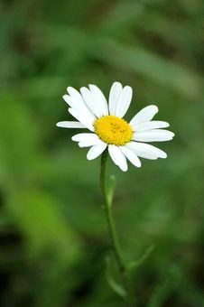 Free White Camomile Royalty Free Stock Photography - 14894037