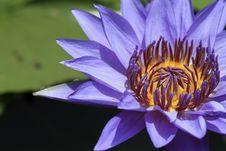 Free Lotus Royalty Free Stock Photo - 14894145