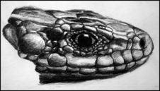 Free Lizard Head Stock Photos - 14895223