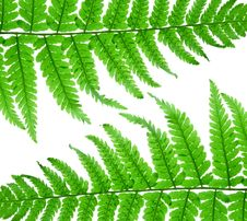 Free Fern Leaf Royalty Free Stock Photos - 14895678