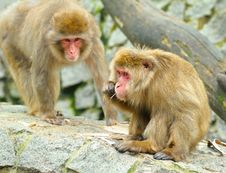 Free Two Monkeys Royalty Free Stock Photography - 14895767
