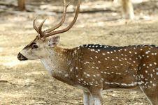 Free Adult, Animal, Antler, Brown, Buck, Careful, Cauti Royalty Free Stock Photography - 14896097