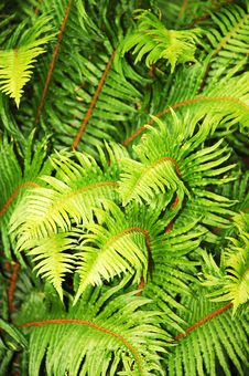 Free Lush Green Ferns Stock Photos - 14896133