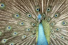 Free Peacock Stock Photo - 14896270