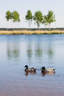 Free Landscape With Ducks Royalty Free Stock Photos - 14896278