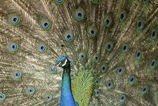 Free Peacock Stock Photography - 14896742