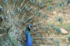 Free Peacock Royalty Free Stock Photo - 14896805