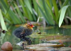 Free Baby Eurasian Coot Stock Images - 14897024