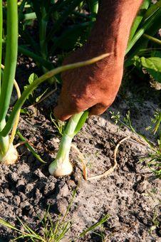 Free Onion Stock Image - 14897391