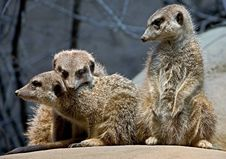 Free Meerkat 14 Stock Images - 14897844