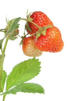 Free Strawberries On White Royalty Free Stock Photo - 14898045