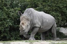 Free White Rhinoceros Royalty Free Stock Photos - 14898218