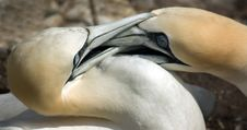 Gannets Fighting For Territory Stock Photo