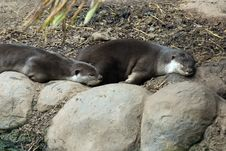 Free Smooth Coated Otter Royalty Free Stock Photo - 14898365