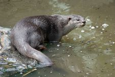 Free Smooth Coated Otter Stock Photo - 14898370
