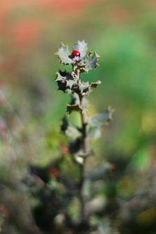 Free Ladybug Royalty Free Stock Images - 14898589