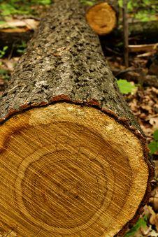Tree  Oak  Cut Royalty Free Stock Photo