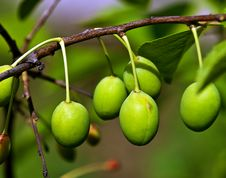 Free Plum On A Branch Royalty Free Stock Photography - 14899247