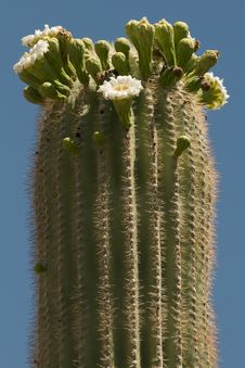 Free Blooming Tall Saguaro Stock Image - 14899751
