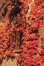 Free Red Ivy Wall Royalty Free Stock Photography - 1498497