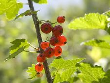 Free Red Currant Royalty Free Stock Image - 1490336