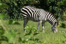 Free Zebra Royalty Free Stock Photos - 1490858