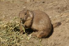 Free Prairie Dog Royalty Free Stock Image - 1490976