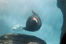 Free Sea Lions Swimming Stock Photo - 1491030