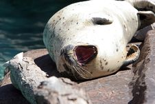 Free Yawning Sea Lion Stock Image - 1491041